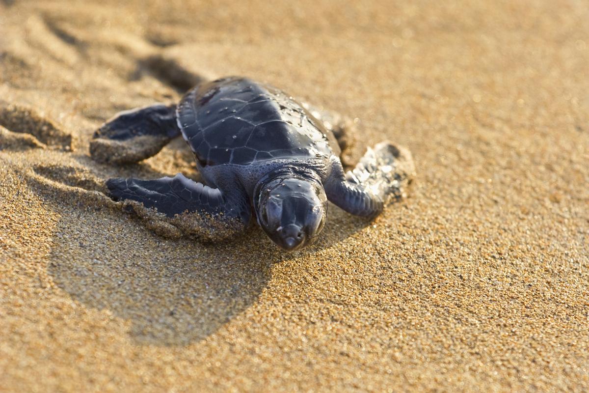 Baby Sea Turtle At John's Island